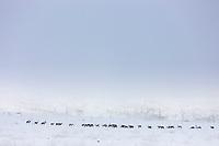 Caribou trekking across the tundra on finger mountain, Alaska