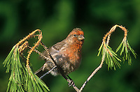 528800176 a wild male house finch carpodacus mexicanus perches on a fir tree in a yard in southern california united states