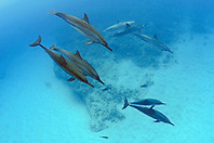 Hawaiian spinner dolphins, Stenella longirostris, Honomalino Bay, Milolii, Big Island, Hawaii, USA, Pacific Ocean
