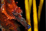 Lined seahorse, Hippocampus erectus. Found all along the Eastern Seaboard, and throughout the Caribbean in sheltered areas. Usually spotted in seagrass beds.