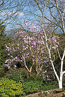 Magnolia campbellii in spring flowering bloom, pink flowers entire tree shrub with branches trunks in garden landscape, birch Betula, Pieris, blue sky and clouds, sunny day March April May