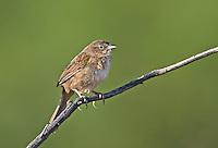 578680019 a wild male botteri's sparrow aimophila botteri perches on a dead stick in the madera grasslands near madera canyon pima county arizona united states