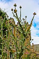 A large Scottish thistle at Cawdor Castle
