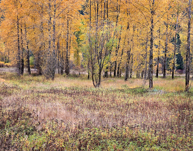 brilliant autumn colors in meadow, North Idaho