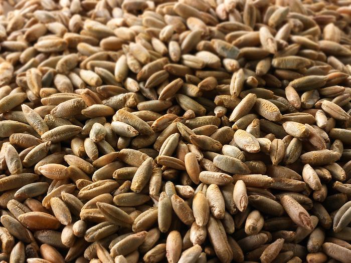 rye grains stock photos