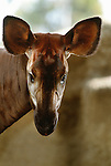 Okapi, Zaire