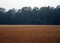 9 June 2006:  Field of yellow corn field line the edge of green trees. Fog lifted from the field early in the morning. Background graphic detail.