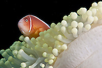 Anemonefish, or clown fish, can only survive in the sheltering arms of an anemone.  This anemone has bleached, probably as a result of warm water temperatures.