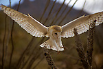 North America, Americas, USA, United States, Arizona. Common Barn Owl at Arizona-Sonora Desert Museum.