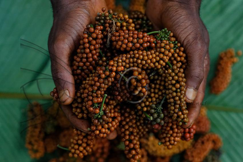 The wild pepper is gathered by the N'Bensele and sold to the Bantus for the market in Pokola.///Le poivre sauvage est récolté par les N'Bensélé et il vendu aux bantous pour le marché de Pokola.