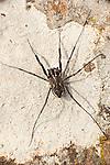 Harvestman Spider, Leiobunum rotundum, Lesvos Island Greece  , lesbos