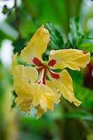 Unusual yellow and red hibiscus, Big Island