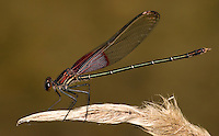 The American Rubyspot (Hetaerina americana) is a damselfly of the family Calopterygidae. Males have a lustrous red head and thorax.