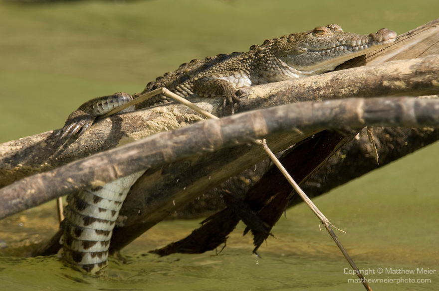 Monkey River, Belize, Central America; a juvenile American Crocodile (Crocodylus acutus) lies on branches with its tail dipped in the water of the Monkey River , Copyright © Matthew Meier, matthewmeierphoto.com All Rights Reserved