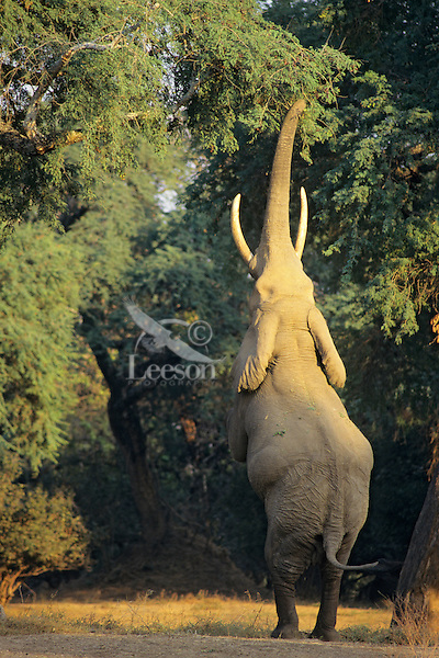 African Elephant bull (Loxodonta africana) feeding on tree branches--reaches up and breaks off branch with his trunk.  Mana Pools National Park, Zimbabwe,  Africa.  A big bull can reach limbs and leaves upto 20 feet--higher than a giraffe can reach.