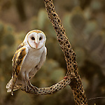 North America, Americas, USA, United States, Arizona. Common Barn Owl Arizona-Sonora Desert Museum.