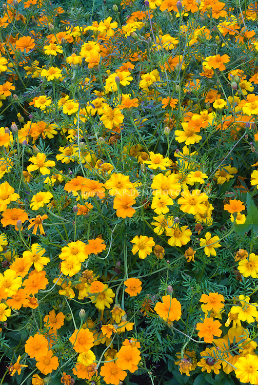 Tagetes patula Citrus Mixed marigolds, signet small flowered, orange and yellow colored annuals
