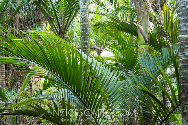 Nikau Palm coastal forest in Kohaihai near Karamea, Kahurangi National Park, Buller Region, West Coast, New Zealand, NZ
