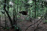 Okapi in captivity in the OFR (Okapi Faunal Reserve).