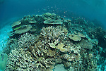 Coral reef in the far northern Great Barrier Reef