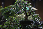 A Bonsai tree glistens in the morning light in a garden near the Citadel in Hue, Vietnam.