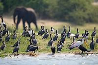 Long-tailed Cormorant, Kazinga Channel, Queen Elizabeth National Park, Uganda, East Africa