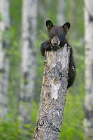 Black Bear cub peering over the top of a tree