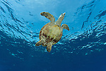 Hawksbill turtle (Eretmochelys imbricata) swimming.