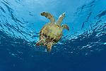 Hawksbill turtle (Eretmochelys imbricata) swimming.
