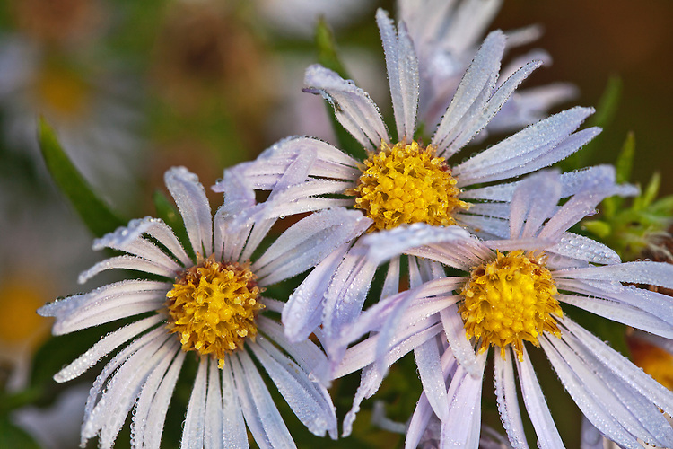 Dew collects on New England asters in Acadia National Park, Maine, USA