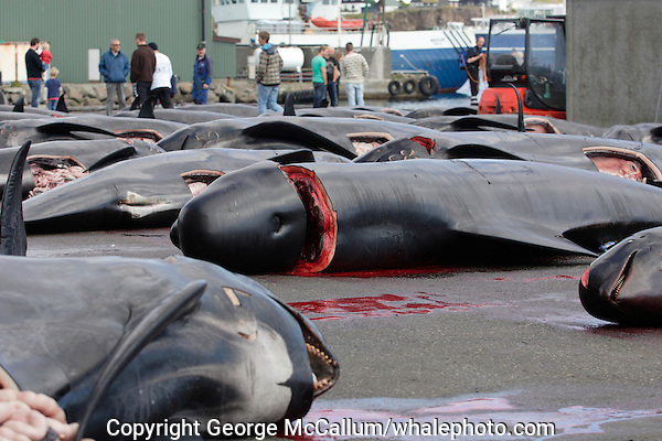 Whaling. Long-finned Pilot whales ( Globicephala melas ) Carcasses from Grindadrap on harbour in Torshavn, Faroe Islands, North Atlantic