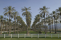 Wonderful view of old date palm tree grove bearing fruit