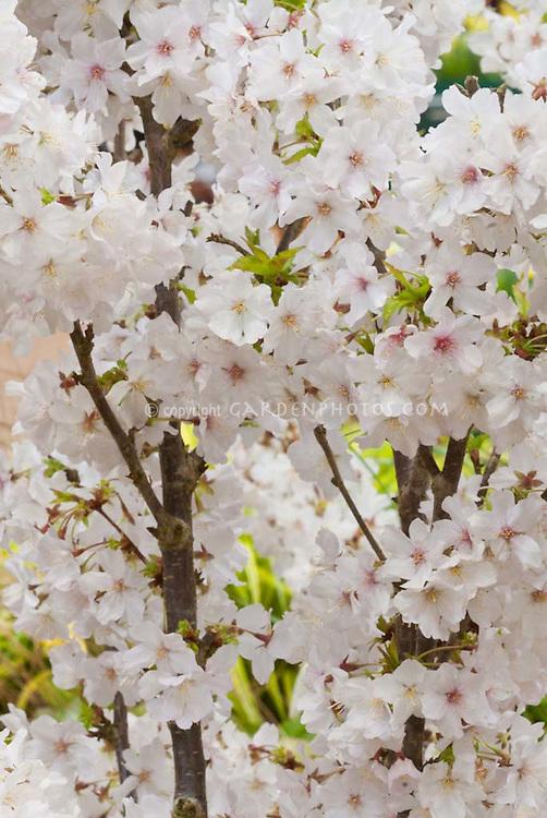 Flowering Cherry Tree Prunus nipponica var. kurilensis 'Brilliant' in spring bloom