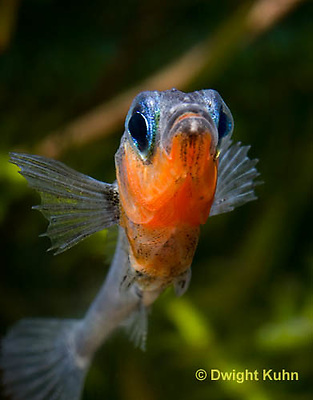 1S14-595z  Male Threespine Stickleback, Mating colors showing bright red belly and blue eyes, close-up of face, Gasterosteus aculeatus,  Hotel Lake British Columbia