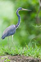Tri-colored Heron, Cost Rica, Central America.