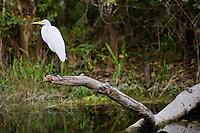 Great Egret also known as Great White Egret, Ardea alba, in Everglades, Florida, USA