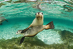 Australian Sealions