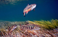 Group of Juvenile Brook Trout<br />
