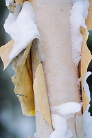 Snow on the peeling Alaska paper birch bark in winter, Fairbanks, Alaska