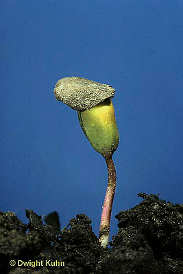 AT11-001a  Apple Tree - seedling emerging from soil with seed coat on top