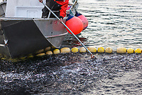 Alaska Department of Fish and Game takes samples from a net filled with Herring during the Sitka sac roe herring fishery near Sitka in southeast, Alaska.