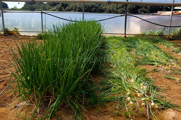 Organic onions during an open day at Can Tria de Mata, near Mataro, Barcelona, Catalonia. (c) Dave Walsh 2017