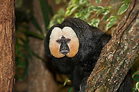 White-Faced Saki male (Pithecia pithecia) on a branch. Captivity