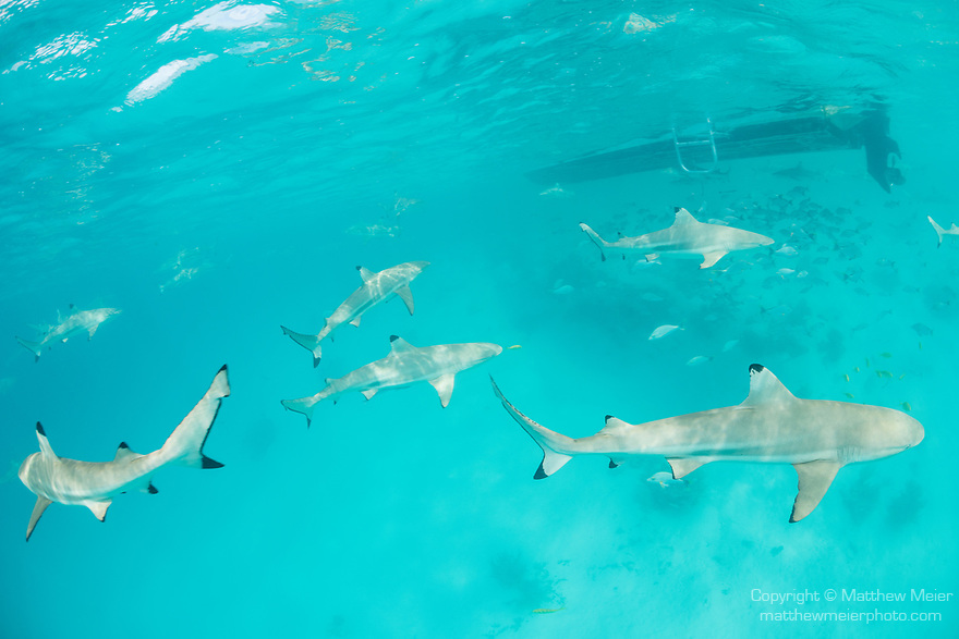 Blue Lagoon, Rangiroa Atoll, Tuamotu Archipelago, French Polynesia; schooling blacktip reef sharks swimming just below the boat, in the shallow waters of the lagoon