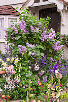 Lilac Syringa in bloom in front of house door entry in spring bloom with garden of irises, papaver, aquilegia columbine, Digitalis foxglove, mixed plantings, June, May
