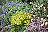 Perennial border with chartreuse Euphorbia 'Dean's Hybrid', blue flower Geranium 'Orion', Oenothera stricta, violet Geranium cantabrigiense 'Cambridge Blue', in garden at Digging Dog Nursery