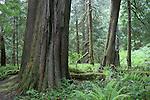 Temperate rainforest in North Cascades NP