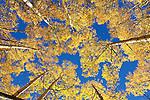 Aspens show their autumn colors, Red Mountain Pass, San Juan Mountains, Colorado