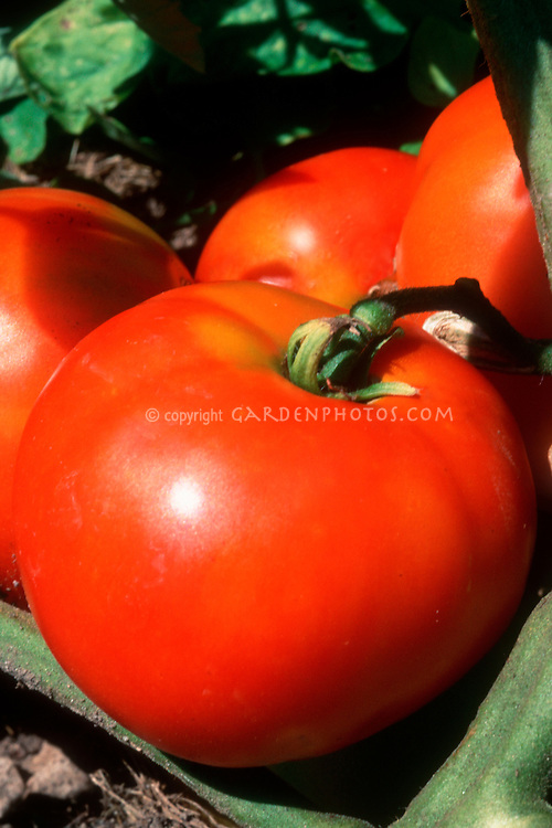 Red ripe Tomatoes 'Marglobe' growing on the vine plant, excellent canning variety from 1920s.