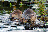 Three North American Beaver (Castor canadensis) at communal feeding area eating the bark off small aspen tree limbs along edge of pond.  Northern Rockies,  Fall.  Beaver often have a regular (usually several) feeding area within their home territory where they will bring small limbs to feed on.  Note: the larger beaver on the right is an adult while the other two beaver are young ones born earlier in the year (probably four to five months old).